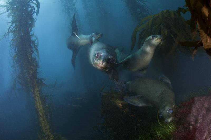 Seehunde-Kelp-©H.Futterknecht