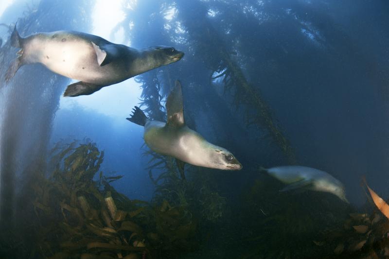 Seehunde-Kelp-I-©H.Futterknecht