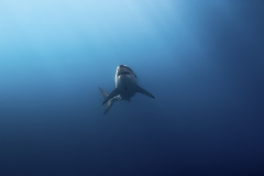 Isla Guadalupe-Socorro unbenannt-5699