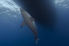 Isla Guadalupe-Socorro unbenannt-5958