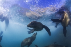 Isla Guadalupe-Socorro unbenannt-6500