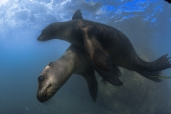 Isla Guadalupe-Socorro unbenannt-6508