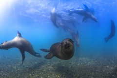 Isla Guadalupe-Socorro unbenannt-6649