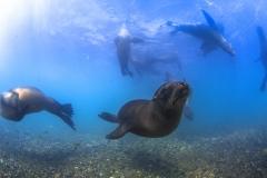 Isla Guadalupe-Socorro unbenannt-6650
