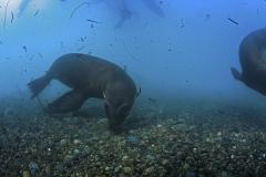 Isla Guadalupe-Socorro unbenannt-6761