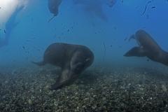 Isla Guadalupe-Socorro unbenannt-6764
