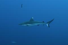 Shark Week 2012 Ägypten-12