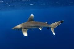 Shark Week 2012 Ägypten-15