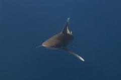 Shark Week 2012 Ägypten-17