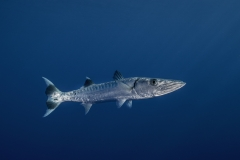 Shark Week 2012 Ägypten-34