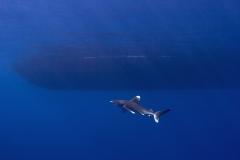 Shark Week 2012 Ägypten-37