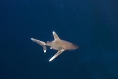Shark Week 2012 Ägypten-41