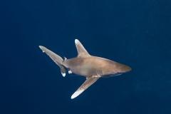 Shark Week 2012 Ägypten-42