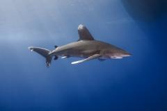 Shark Week 2012 Ägypten-45