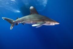 Shark Week 2012 Ägypten-46