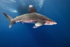 Shark Week 2012 Ägypten-47