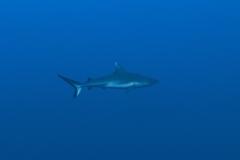 Shark Week 2012 Ägypten-9